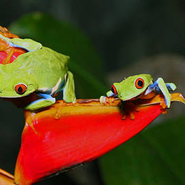 Red eyed tree frogs by Bob Hislop