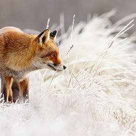 Red Fox and Hoar Frost _ The Catcher in the Rime by Roeselien Raimond