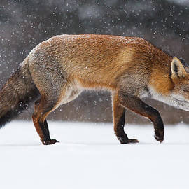 Roeselien Raimond - Red fox trotting through a snowshower