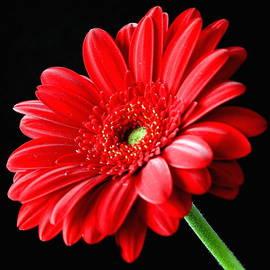 Lynne Dymond - Red Gerbera Daisy Flower on Black