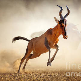 Red hartebeest running in dust by Johan Swanepoel