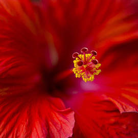 Eduard Moldoveanu - Red Hibiscus