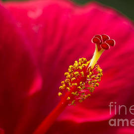 Red Hibiscus by Kristiina Hillerstrom