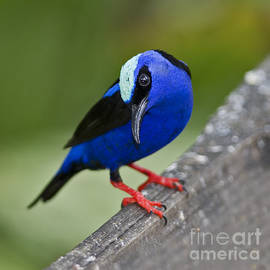 Red-legged Honeycreeper.. by Nina Stavlund