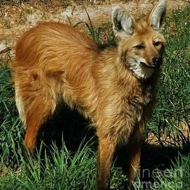 Christy Ricafrente - Red Mane Wolf