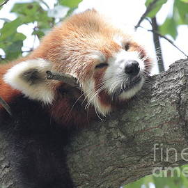 Red Panda sleeping by Dwight Cook