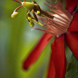 Red Passion Flower by Bradley R Youngberg