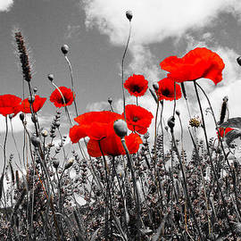 Dany Lison - Red Poppies on black and white background