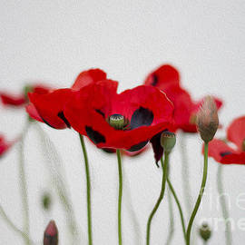 Red Poppy by Clare Bambers