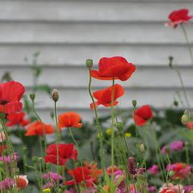 Francois Fournier - Red Poppy Flowers no1