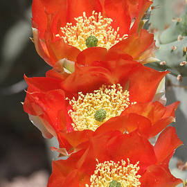 Tom Janca - Red Prickly Pear Flowers