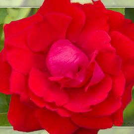 Walter Herrit - Red Rose 1
