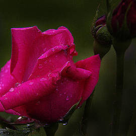 Red Rose Bud by Susan Buscho