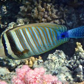Red Sea Beauty Zebrasoma