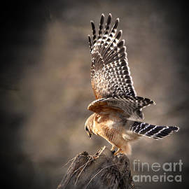 Nava Thompson - Red-shouldered Hawk Action