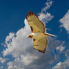Roy Williams - Red-tailed Hawk Soaring Series 4