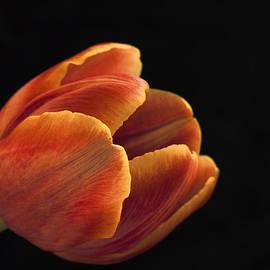 Kim Andelkovic - Red Tulip