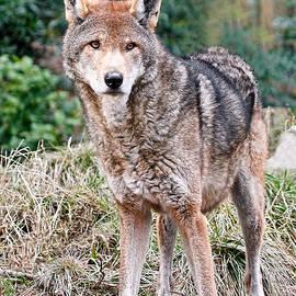 Athena Mckinzie - Red Wolf ALERT