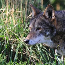 Steve McKinzie - Red Wolf on the Hunt