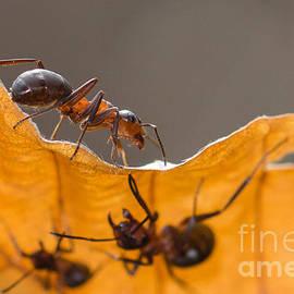 Red Wood Ants by Jivko Nakev