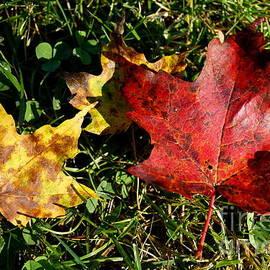 Kerri Mortenson - Red Yellow Maple Leaves