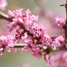 Terry Fleckney - Redbud Blossoms