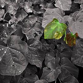 William Fields - Redbud Dewdrops