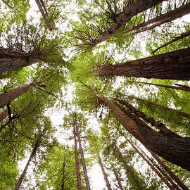 Redwood Forest, Humboldt State Park, Ca by Kristin Piljay