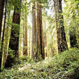 Scott Pellegrin - Redwoods on the Hill