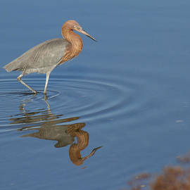 Reflection of a Reddish Egret by Ruth Jolly