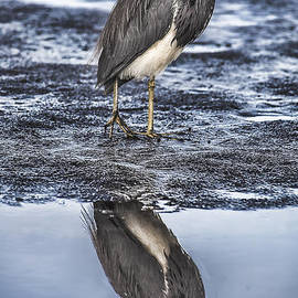 Reflections of Tri-Color Heron by Mark Fuge