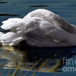 Reposing Swan by Dale   Ford
