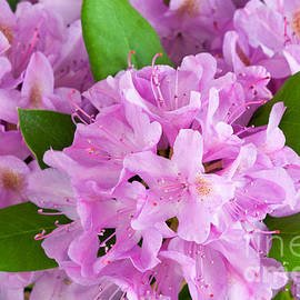 Rhododendron Pink I by Regina Geoghan