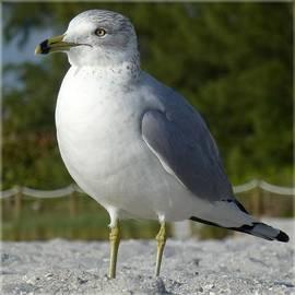 Ring-billed Gull by Barbie Corbett-Newmin