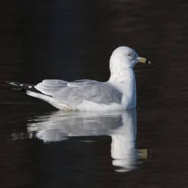Ring-billed Gull Dseab008 by Gerry Gantt