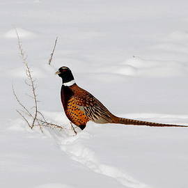 Marty Fancy - Ring Necked Pheasant