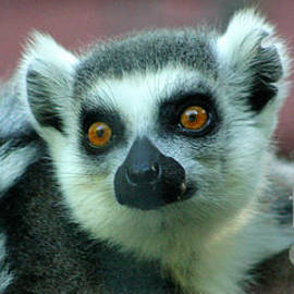 Ring Tailed Lemur-2 by Gary Gingrich Galleries