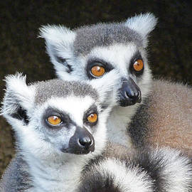 Margaret Saheed - Ring-tailed Lemur Companions