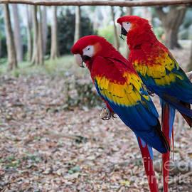 Roatan Macaws