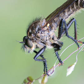 Jivko Nakev - Robber fly Asilinae Close up