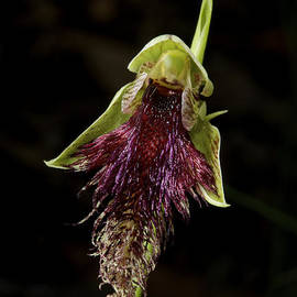 Robertson's Bearded Orchid by Graham Palmer