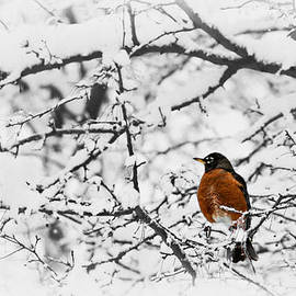 Robin in Snow by Nikolyn McDonald