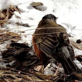 Karen  Majkrzak - Robin in Winter