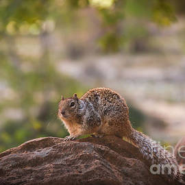 Rock Squirrel in Zion by Robert Bales