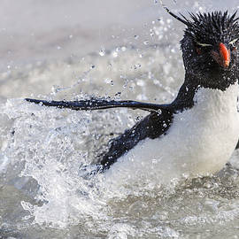 Rockhopper Penguin Splashing Falklands by Heike Odermatt