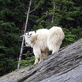 George Cousins - Rocky Mountain Goat