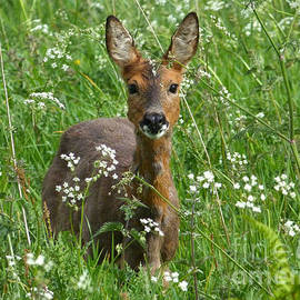 Roe Doe Early Summer by Phil Banks