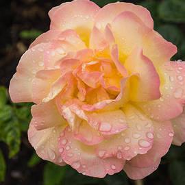 Rose and Rain - Pink and Cream Raindrops by Georgia Mizuleva
