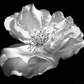 Jennie Marie Schell - Rose Flower in Full Bloom  Black and White