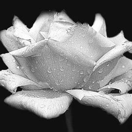 Rose in Black and White by Susan Buscho